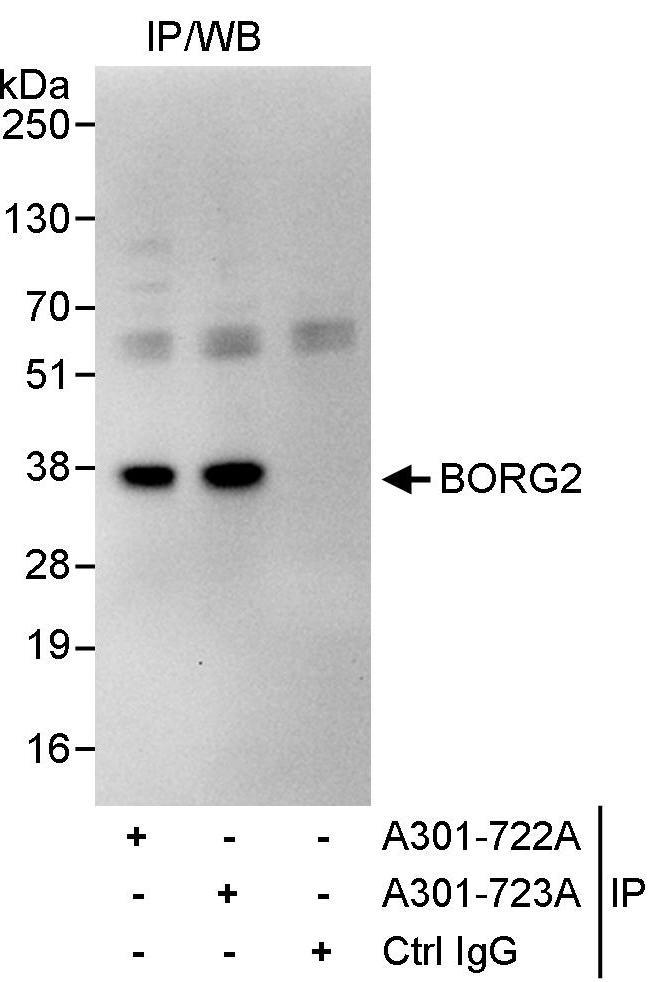 BORG2 Antibody in Immunoprecipitation (IP)