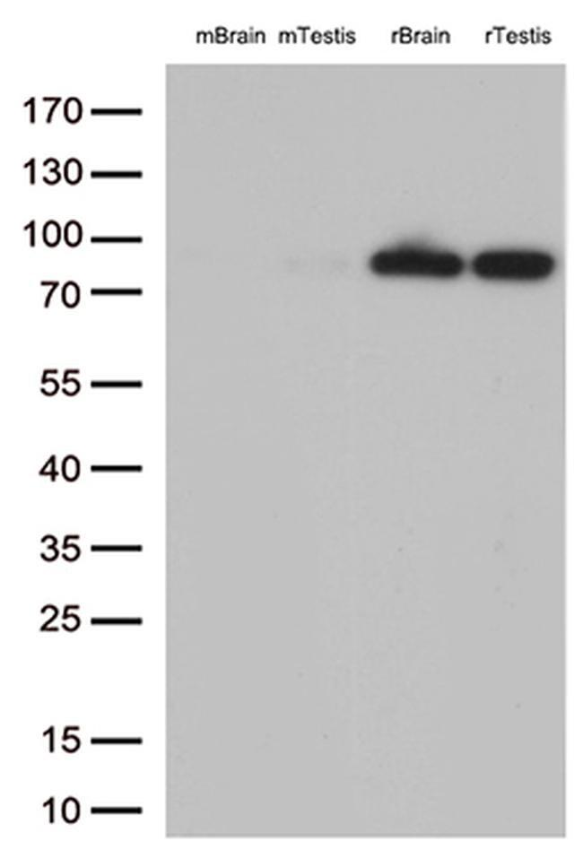 BRAF Antibody in Western Blot (WB)