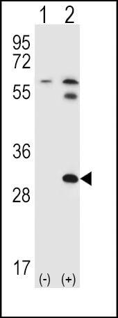 STAP1 Antibody in Western Blot (WB)