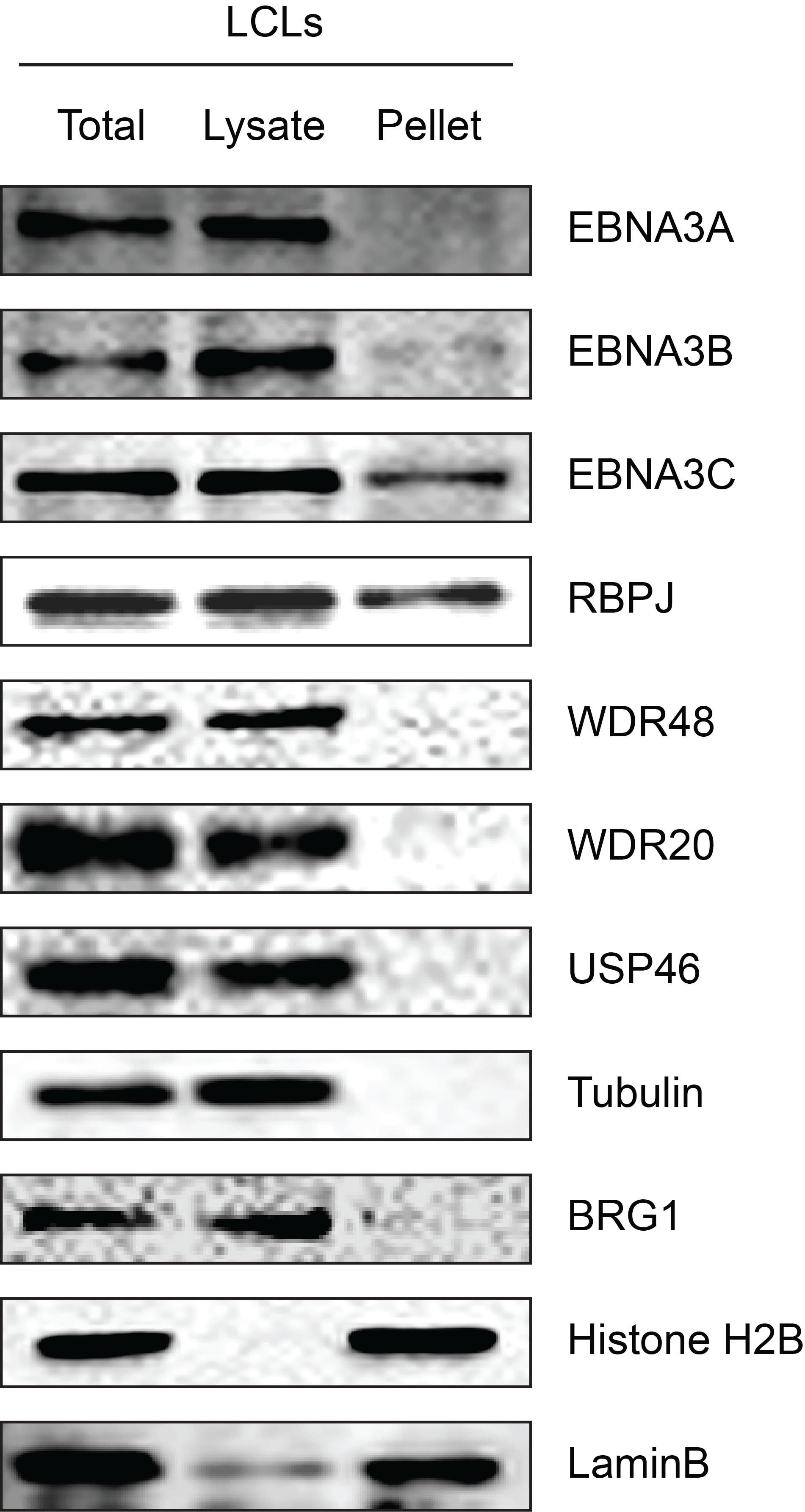BRG1 Antibody