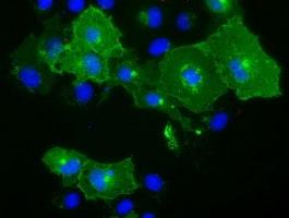 BTN1A1 Antibody in Immunofluorescence (IF)