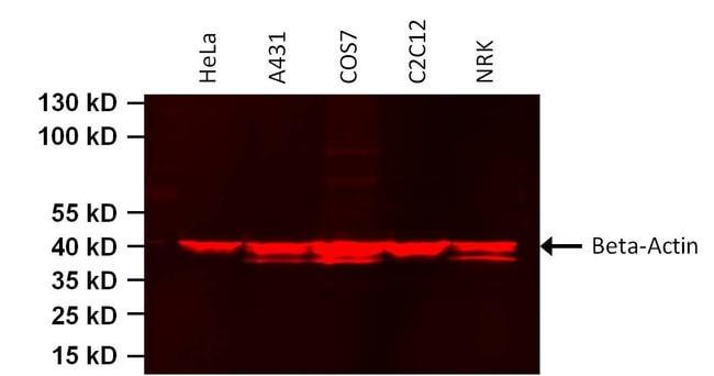 beta Actin Loading Control Antibody in Western Blot (WB)
