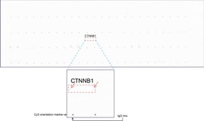 Beta-catenin Antibody in Peptide array (ARRAY)
