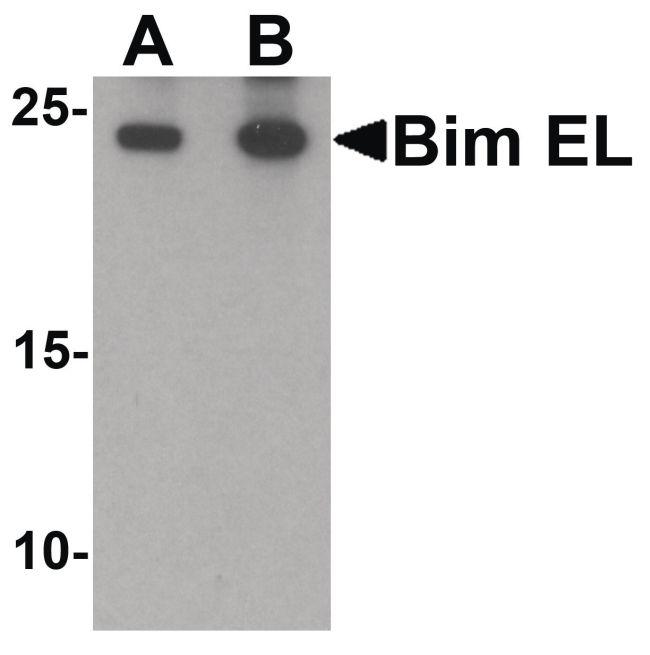 Bim Antibody in Western Blot (WB)