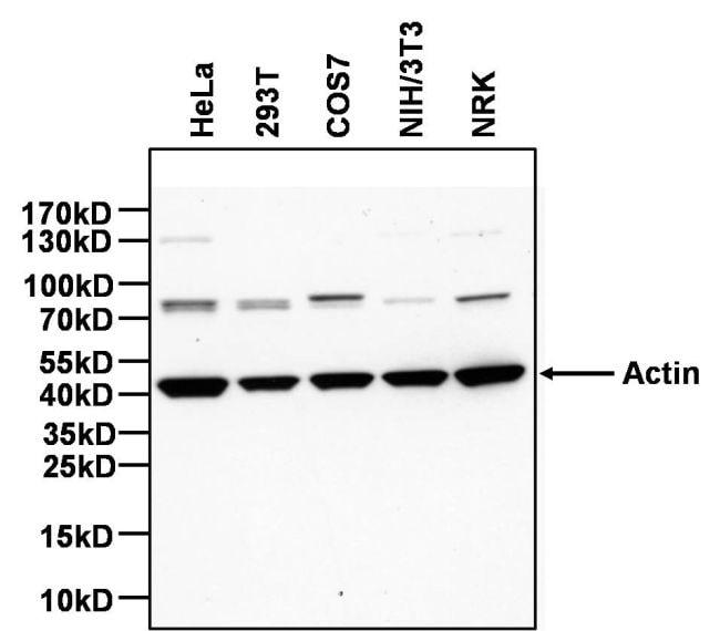 Actin Antibody Biotin Monoclonal Actn05 C4