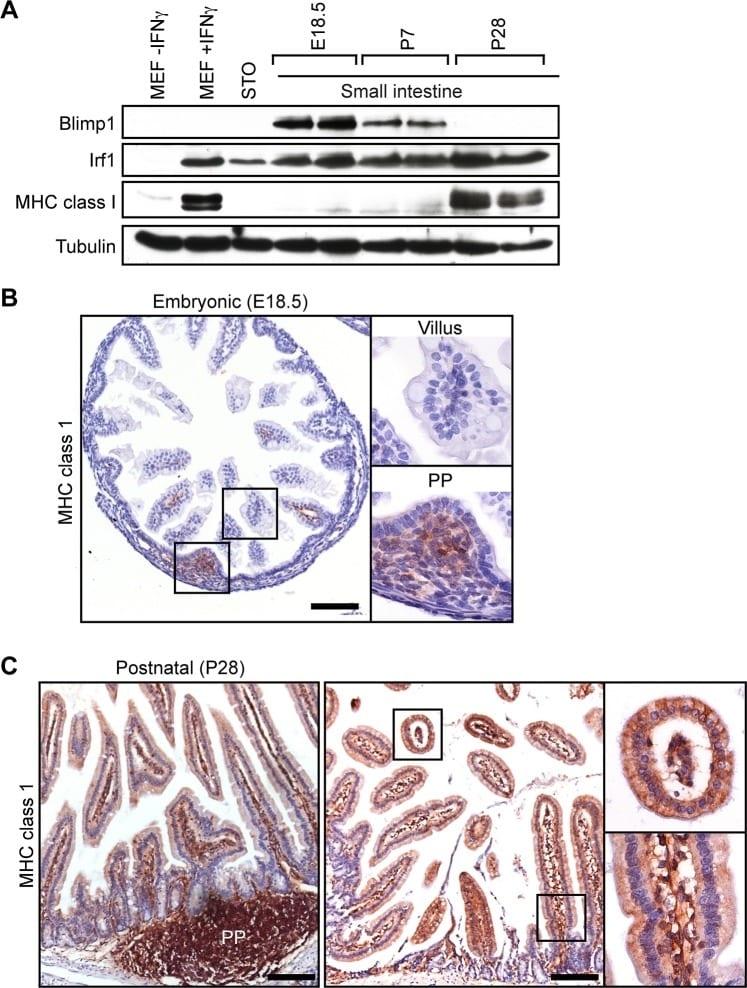 Blimp-1 Antibody