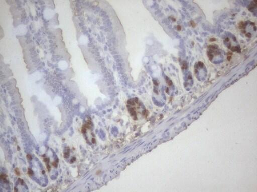 BrdU Antibody in Immunohistochemistry (Paraffin) (IHC (P))