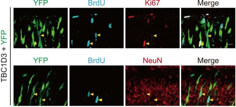 BrdU Antibody