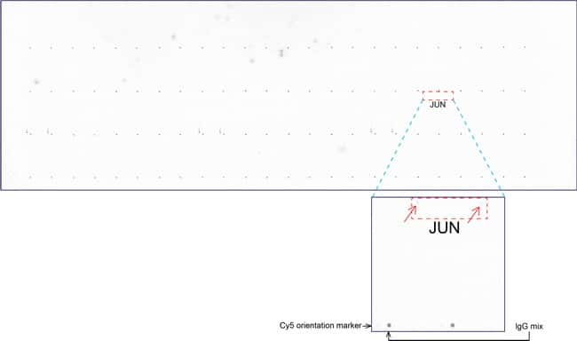 C-Jun Antibody in Peptide array (ARRAY)