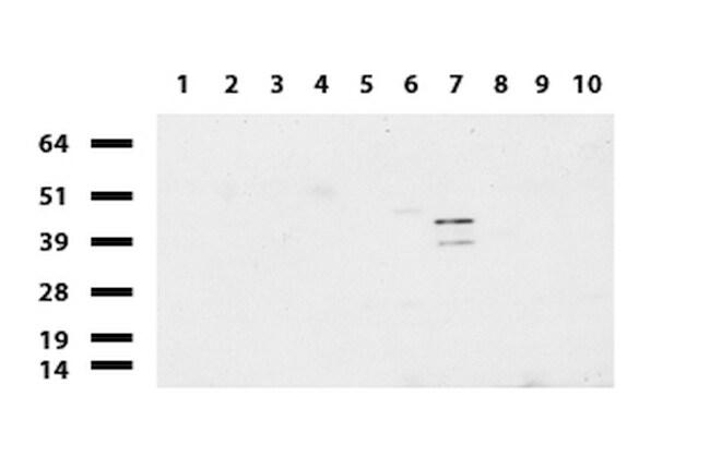 C-Jun Antibody in Western Blot (WB)