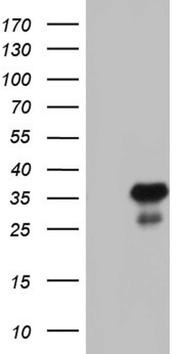 RTRAF Antibody in Western Blot (WB)