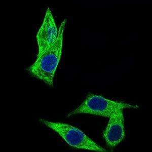C17orf53 Antibody in Immunofluorescence (IF)