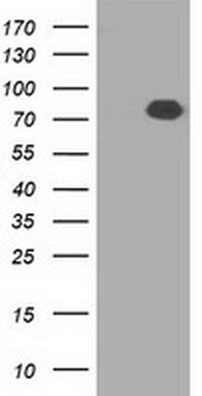 C17orf28 Antibody in Western Blot (WB)