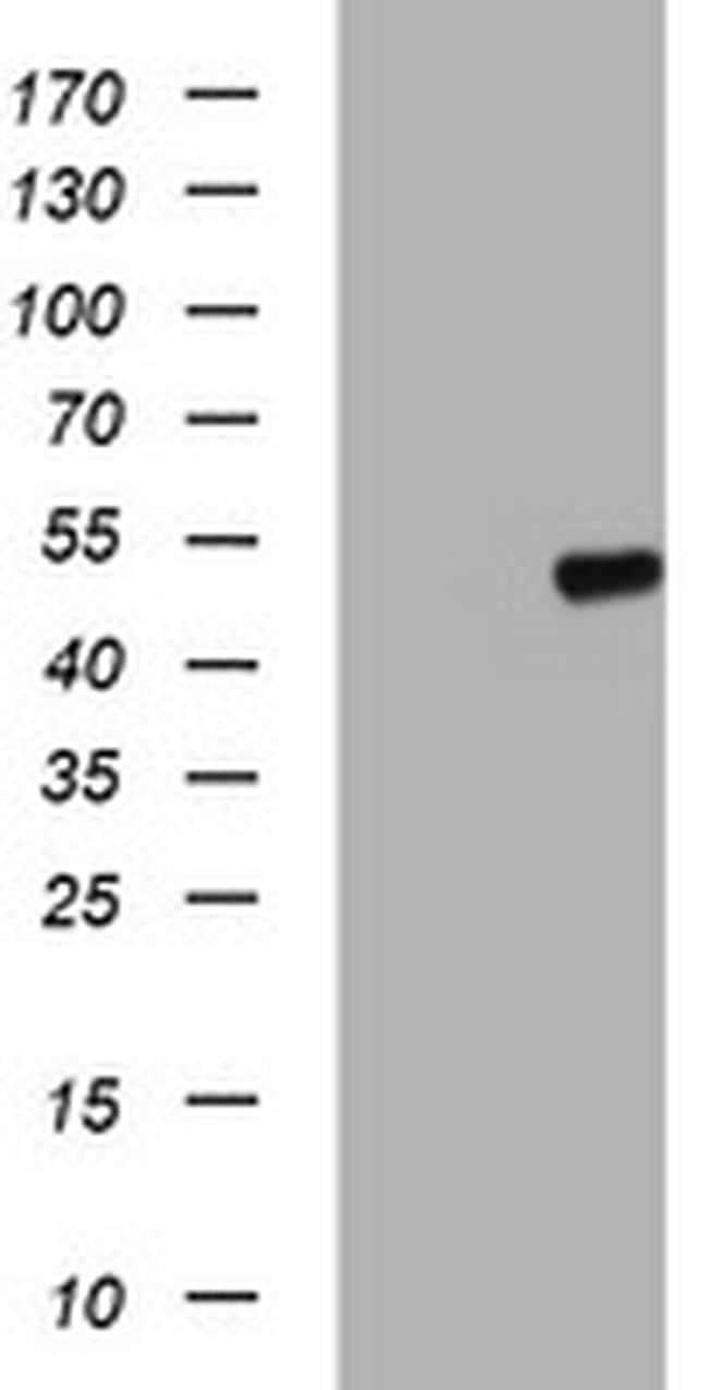 C20orf3 Antibody in Western Blot (WB)