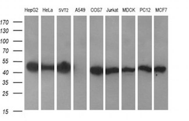 C2orf62 Antibody in Western Blot (WB)