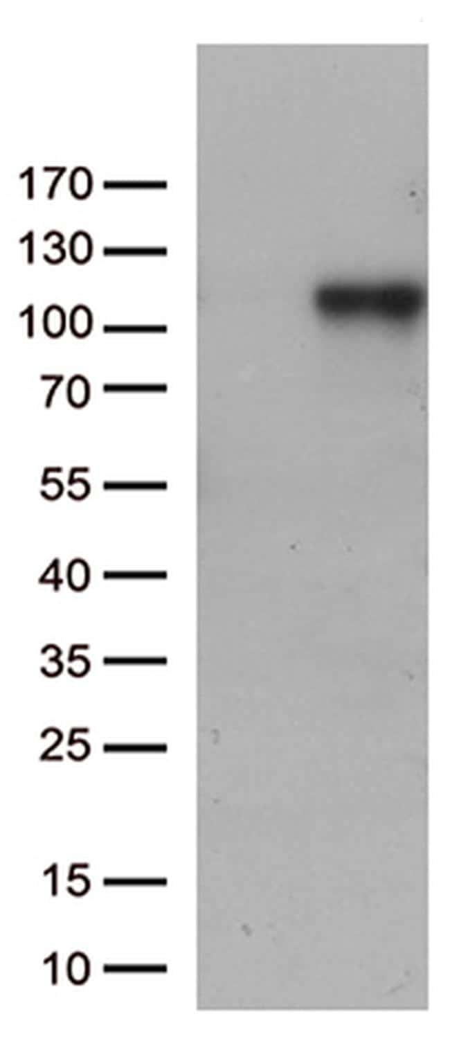 C6 Antibody in Western Blot (WB)