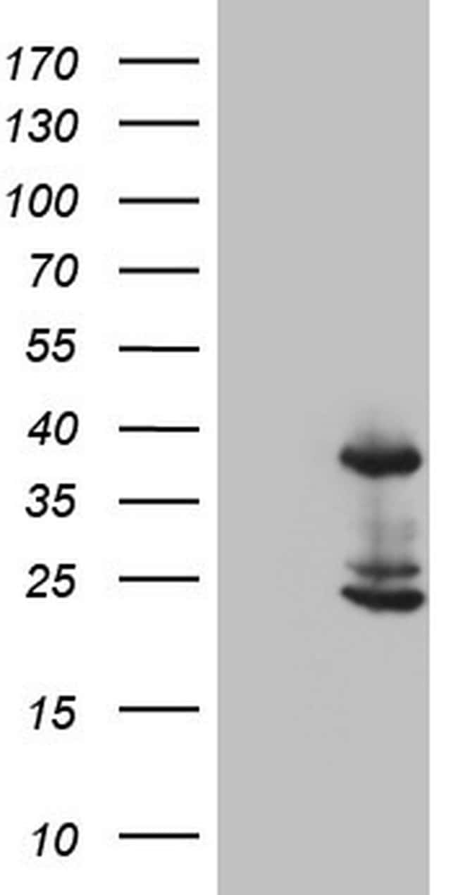 CASP4 Antibody in Western Blot (WB)