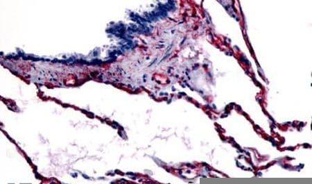 Caveolin 1 Antibody in Immunohistochemistry (Paraffin) (IHC (P))