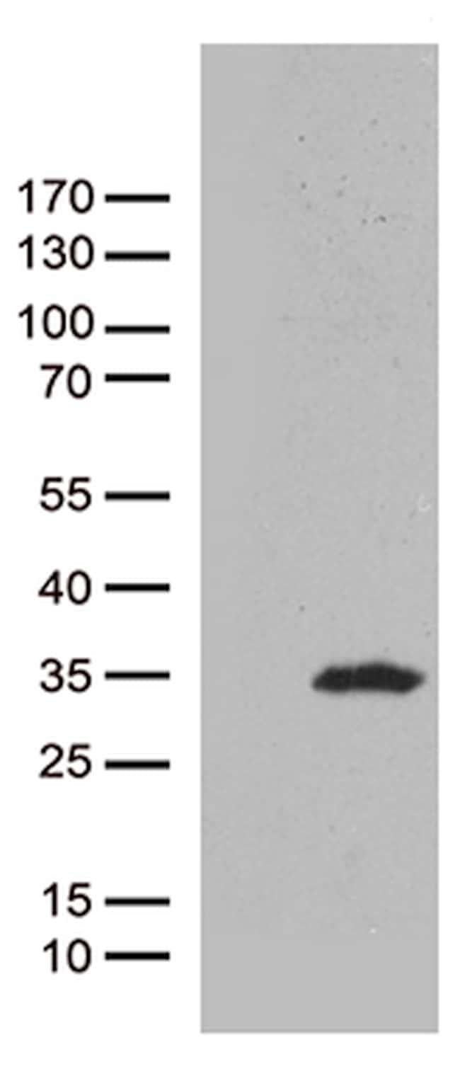 CAV1 Antibody in Western Blot (WB)