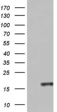 CCL11 Antibody in Western Blot (WB)
