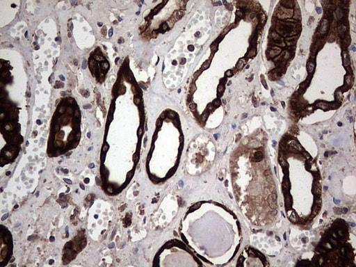 CCL19 Antibody in Immunohistochemistry (Paraffin) (IHC (P))