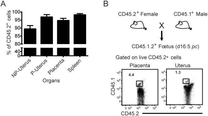CD45.2 Antibody