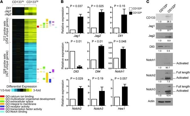 CD133 (Prominin-1) Antibody in Western Blot (WB)