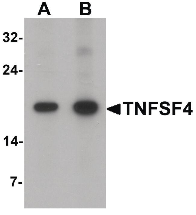 OX40L Antibody in Western Blot (WB)
