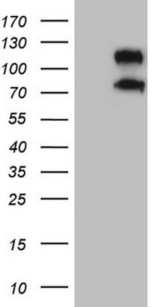 CD34 Antibody in Western Blot (WB)