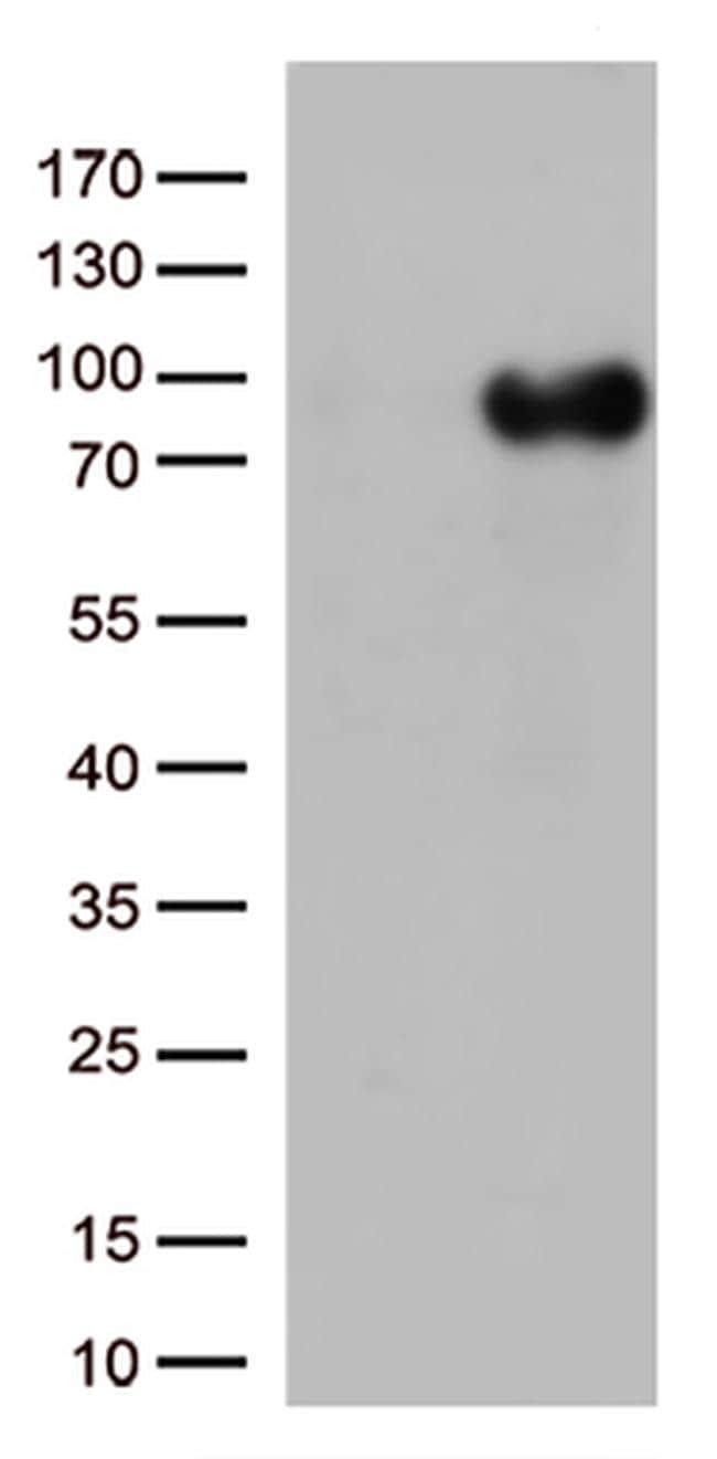 CD36 Antibody in Western Blot (WB)