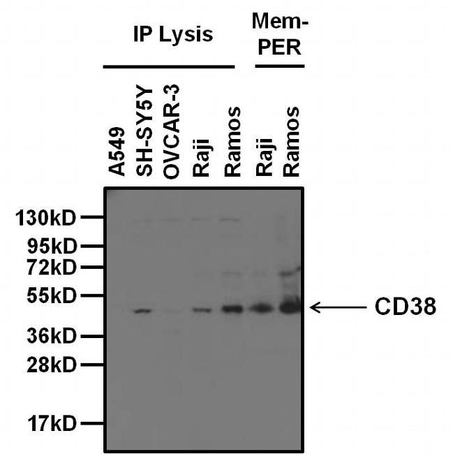 Cd38 Antibody Monoclonal 5c5c3