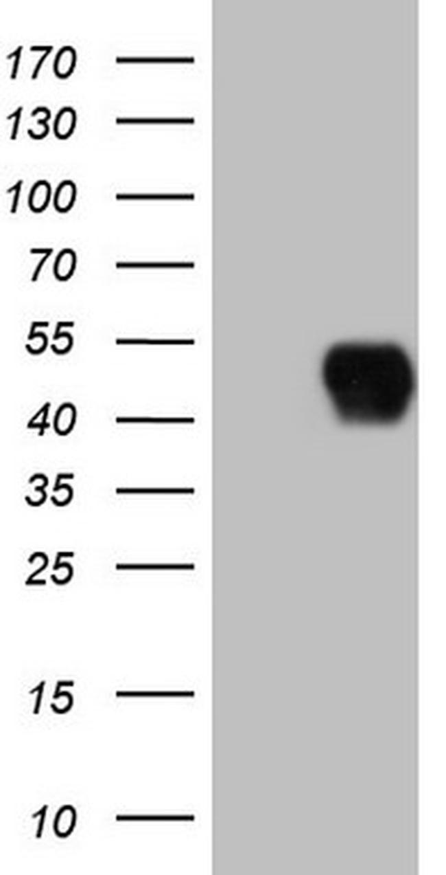 CD40 Antibody in Western Blot (WB)