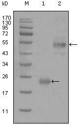 CD44 Antibody in Western Blot (WB)