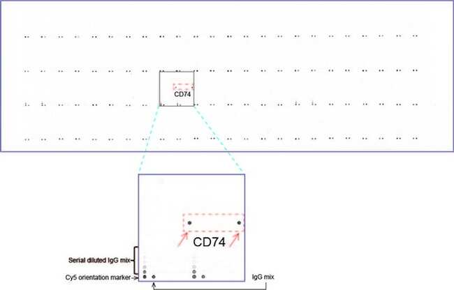 CD74 Antibody in Peptide array (ARRAY)