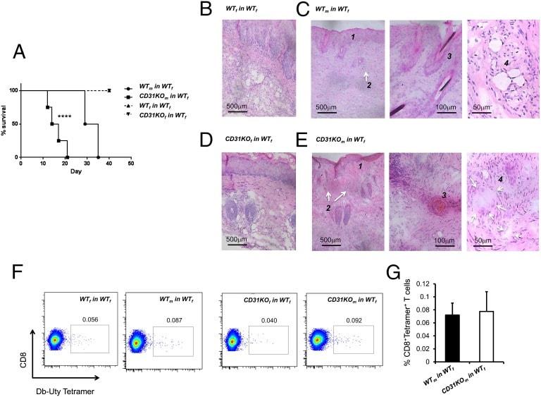 CD8a Antibody in Immunohistochemistry, Flow Cytometry (IHC, Flow)