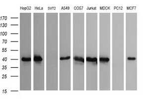 CDC123 Antibody in Western Blot (WB)