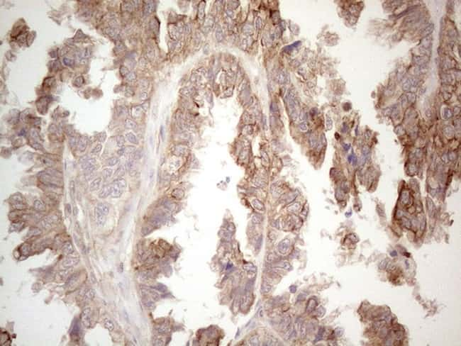 CDC6 Antibody in Immunohistochemistry (Paraffin) (IHC (P))