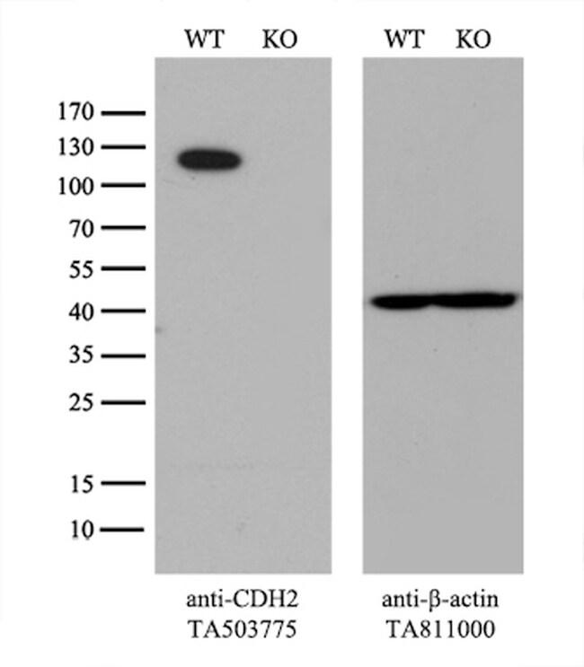 CDH2 Antibody in Western Blot (WB)