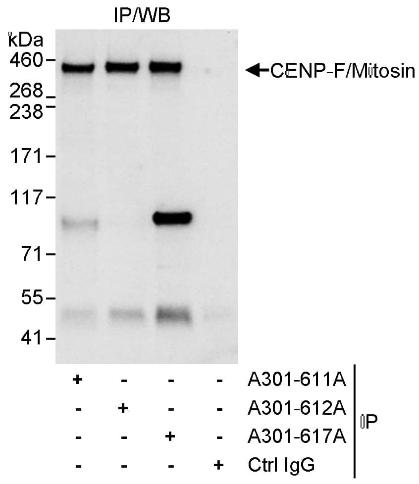 CENP-F/Mitosin Antibody in Immunoprecipitation (IP)