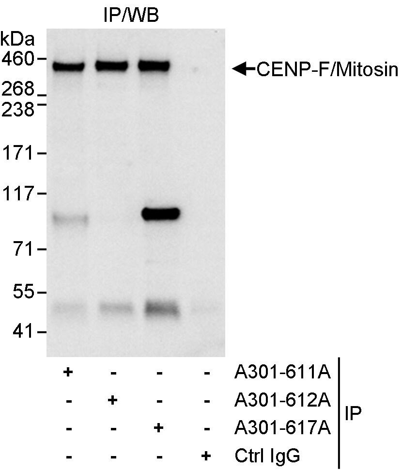CENP-F/Mitosin Antibody in Immunoprecipitation (IP)