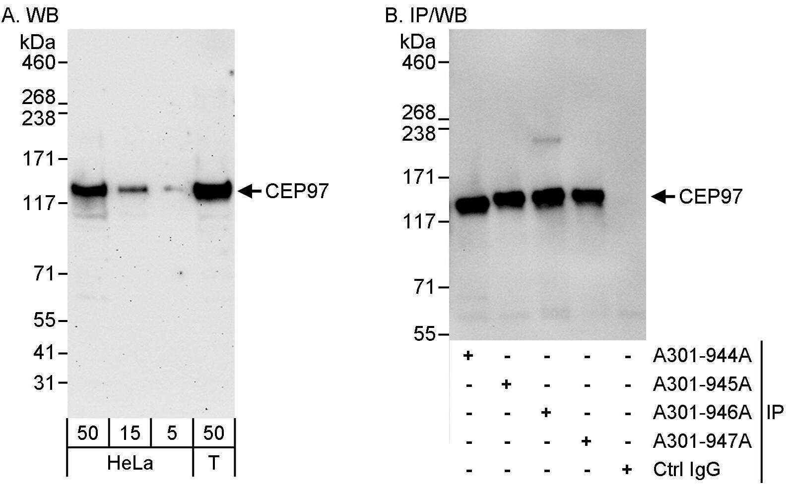 CEP97 Antibody in Western Blot (WB)