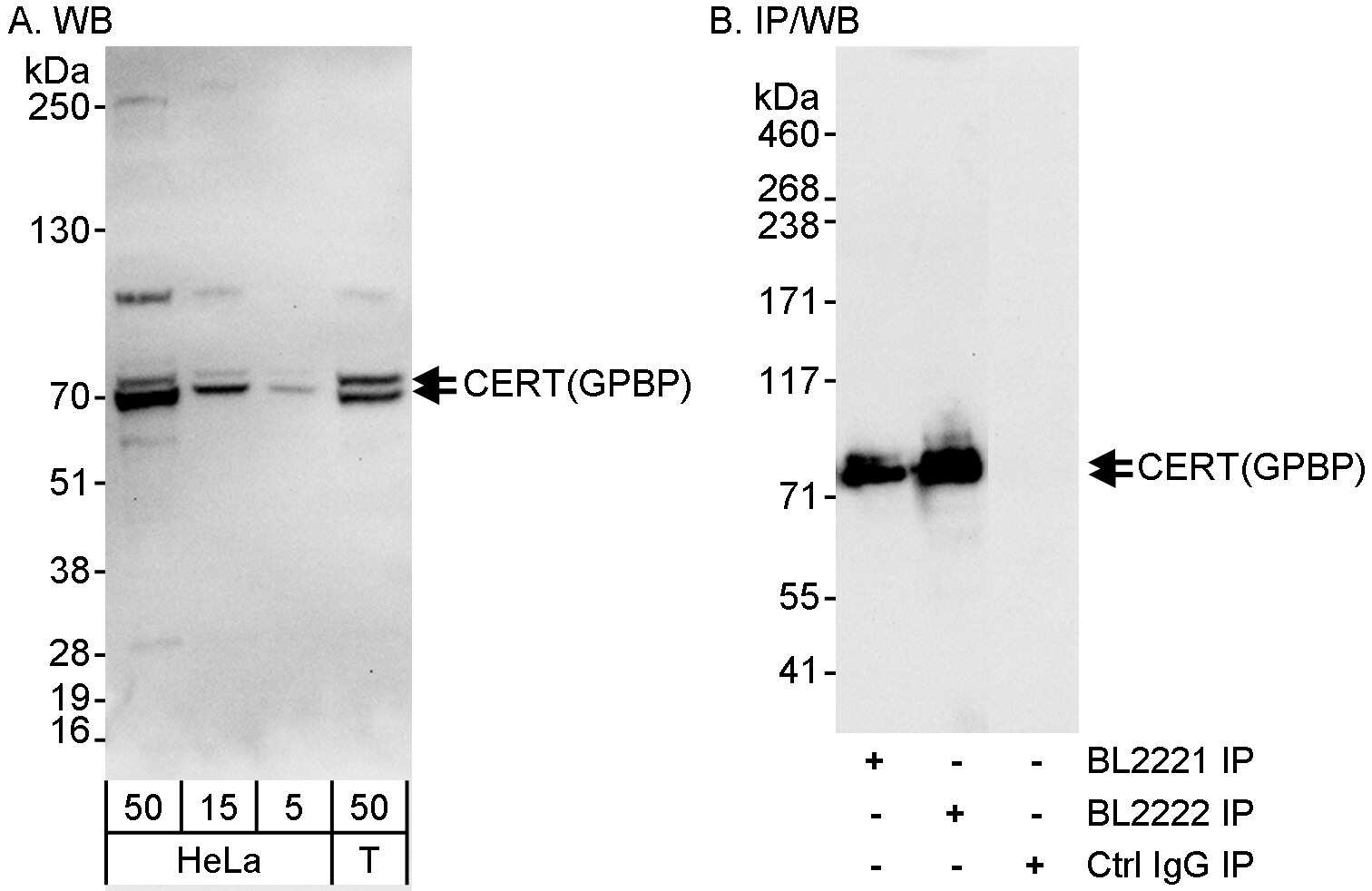 CERT/GPBP Antibody in Western Blot (WB)