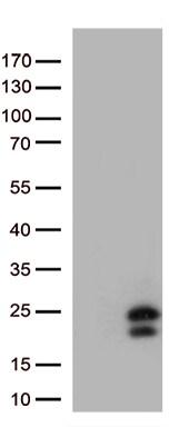 IL29 (IFNL1) Antibody in Western Blot (WB)