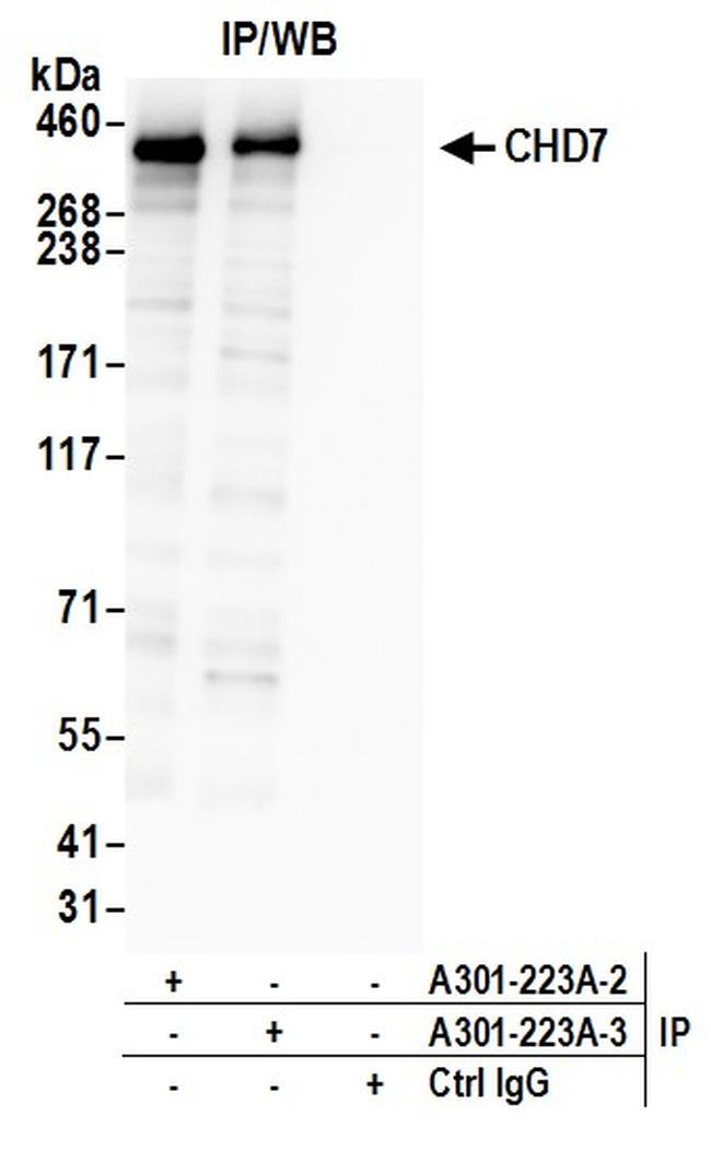 CHD7 Antibody in Western Blot (WB)