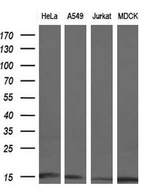 CISD1 Antibody in Western Blot (WB)