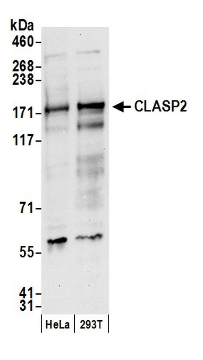 CLASP2 Antibody in Western Blot (WB)