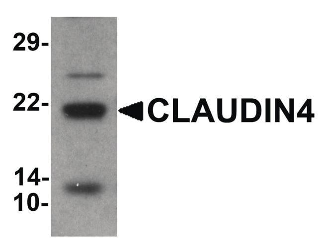 Claudin 4 Antibody in Western Blot (WB)