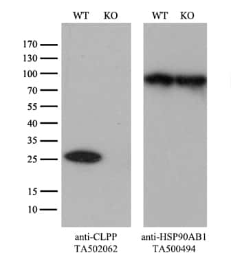 CLPP Antibody in Knockout