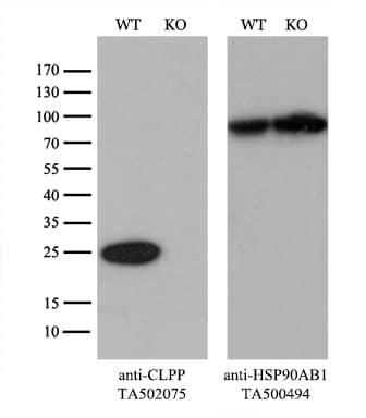 CLPP Antibody in Knockout