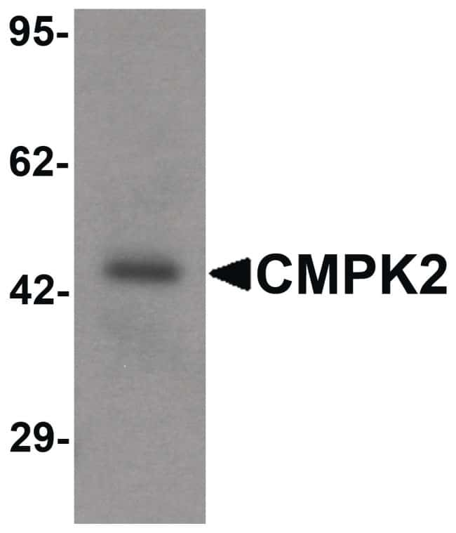CMPK2 Antibody in Western Blot (WB)